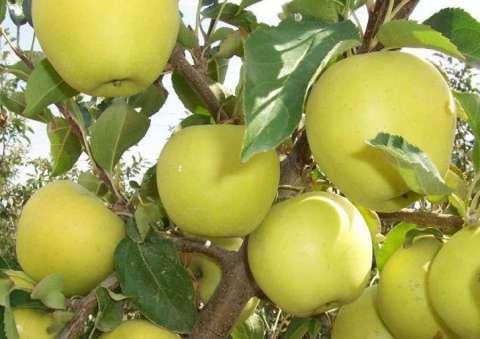 pomi fructiferi 4