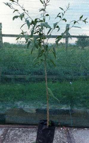 plante goji bio, certificate. 2