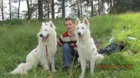 ciobanesc alb elvetian - canisa de lupi albi 1