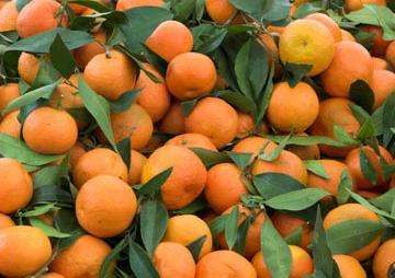 portocale si mandarine direct de la producatori 1