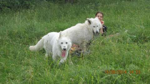 ciobanesc alb elvetian - canisa de lupi albi 6