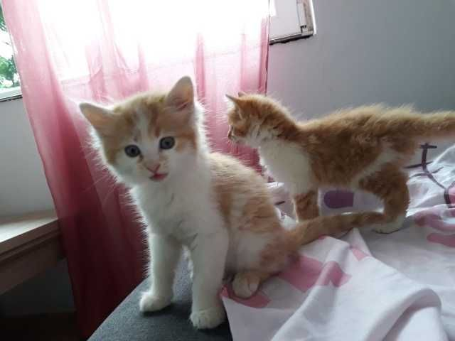 vand pui pisica britis gold 10