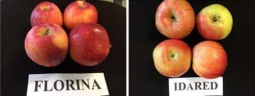mere de vanzare din soiurile florina si idared, pret 1, 20 lei/ kg 5