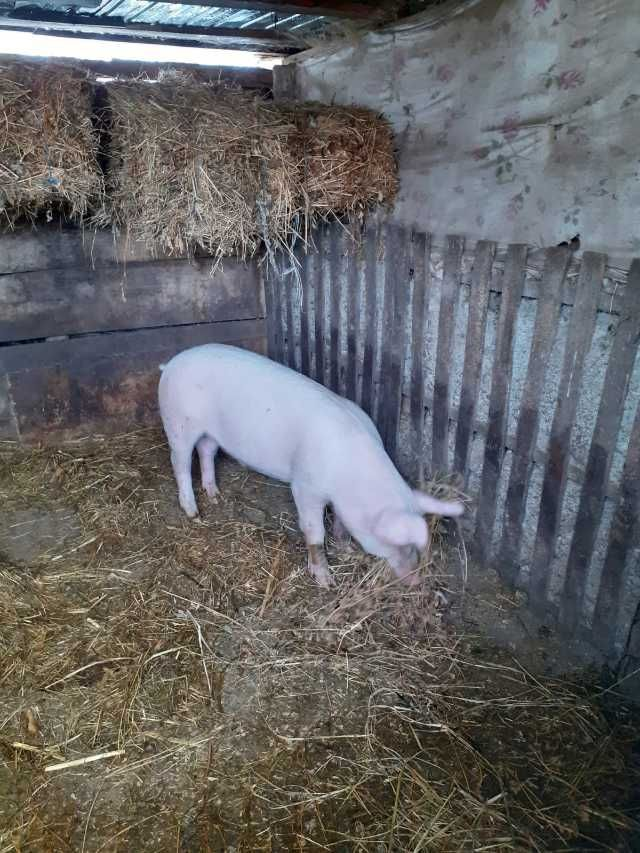 porc 2