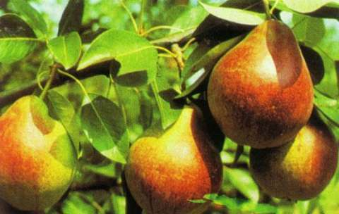 pomi fructiferi 5