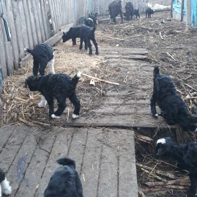 vand capre cu iezi lor din acest an 4