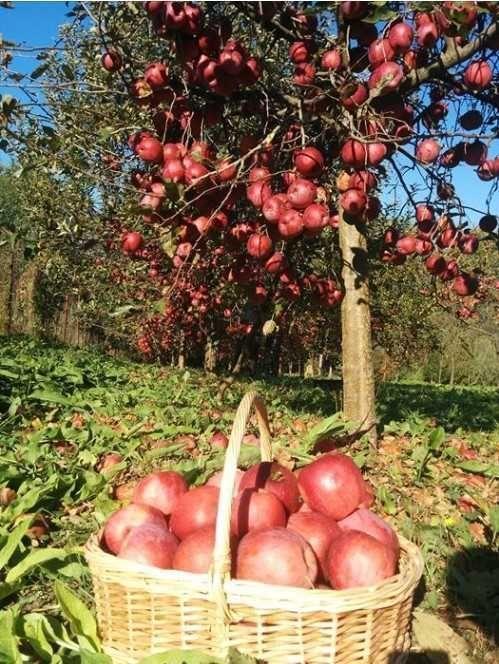 mere de vanzare din soiurile florina si idared, pret 1, 20 lei/ kg 3