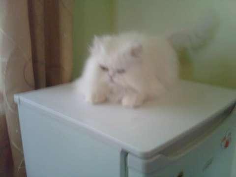 pisica persana 2