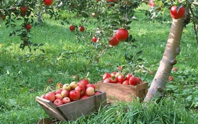 mere de vanzare din soiurile florina si idared, pret 1, 20 lei/ kg 4