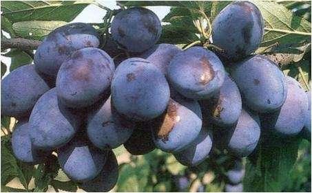 pomi fructiferi 1