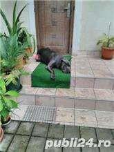 mascul cane corso calm , linistit caut partenera 4