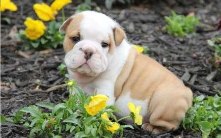 pui de bulldog adorabil și adorabili de vânzare adoptare 2