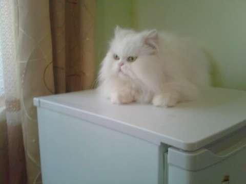 pisica persana 3