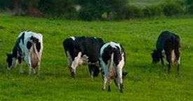 vindem vaci si juninci de rasa de lapte si carne 2