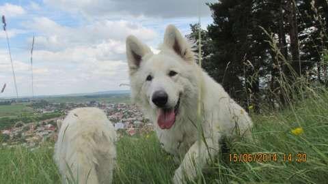 ciobanesc alb elvetian - canisa de lupi albi 3