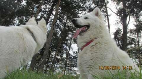 ciobanesc alb elvetian - canisa de lupi albi 5