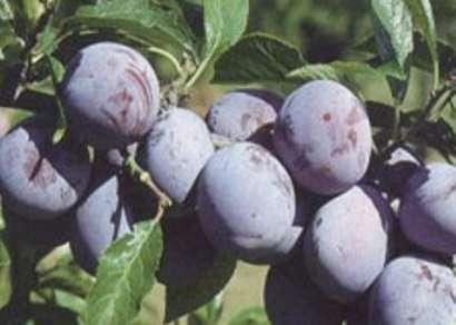pomi fructiferi 8