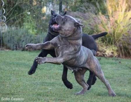 mascul cane corso calm , linistit caut partenera 3