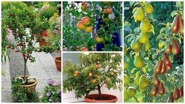 pomi fructiferi pitici si columnari, meri, peri. - 20+ 10 gratis anul 3 1