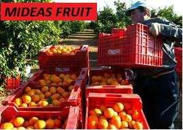 portocale si mandarine direct de la producatori 2