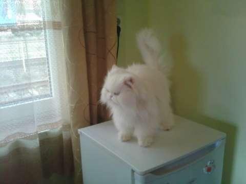 pisica persana 1