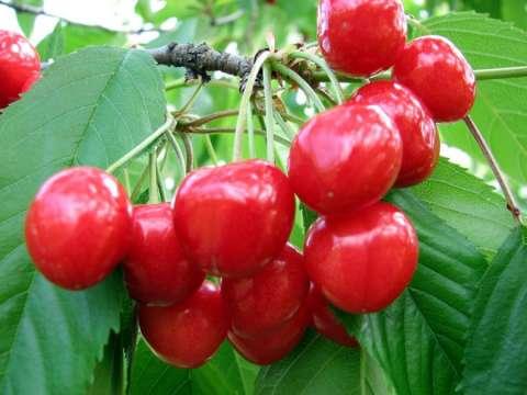 pomi fructiferi 3