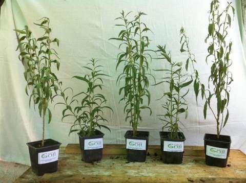 plante goji bio, certificate. 4